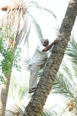 Man climbing on date palm tree in oasis — Stock Photo