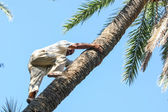 Man climbing on date palm tree — Stock Photo