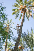 Man climbing on palm tree at oasis — Stock Photo