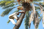 Man climbing on palm tree in oasis — Stock Photo