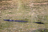 Saltwater crocodile, Yellow waters , Kakadu National Park, North — Stock Photo