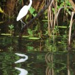 Great White Egret in Kakadu National Park — Stock Photo #27122457