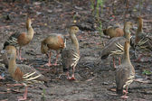 Birdlife in the billabongs, Plumed whistling ducks at Yellow Wat — Stock Photo