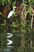 Great White Egret in Kakadu National Park — Stock Photo