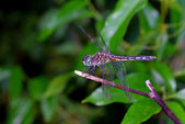 Dragonfly on a Twig — Stock Photo