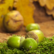 Acorns on moss — Stock Photo