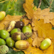 Stock Photo: Many acorns on foliage