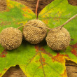 Plane tree fruits — Stock Photo #13689371