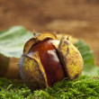 One chestnut — Stock Photo