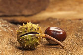 Two chestnuts on bark — Stock Photo