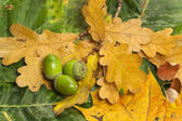 Green acorns on foliage — Stock Photo