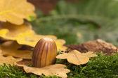 Brown striped acorn fruit — Stock Photo