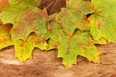Autumnal colored maple leaves — Stock Photo