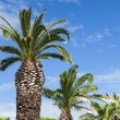 Palms along a road in Gruissan — Stock Photo #13913811
