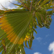 Stock Photo: Palm tree in wind