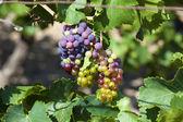 Ripe grapes on the vine — Stock Photo