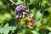 Ripe grapes — Foto Stock