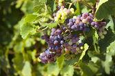 Rijpe druiven zo dicht omhoog weergave — Stockfoto