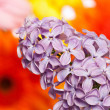 Stock Photo: Lilac bush in front of flowers