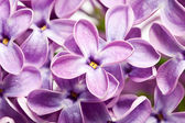 Lilac flowers macro — Stock Photo
