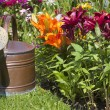 Stock Photo: Watering cin front of colorful lilies