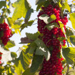 Many ripe red currants — Stock Photo