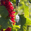 Red currants in backlight — Stock Photo