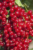 Frutas de grosella — Foto de Stock