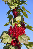 Red Currants in font of blue Sky — Stock Photo