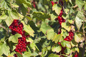 Currants on the bush — Stock Photo