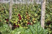 Jardín con muchos grosellas — Foto de Stock