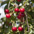 Cherry twigs — Stock Photo