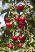 Ramitas de cereza — Foto de Stock