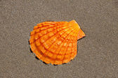 Single Orange Lion's Paw Scallop Shell is lying flat in the sand — Stock Photo