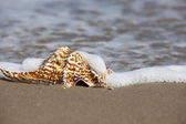 Close up view of a single Conch Shell on the Beach — Stock Photo