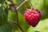Raspberry with leaf — Stockfoto
