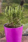 Rosemary herb plant — Stock Photo