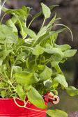 Piatto di erbe con origano — Foto Stock