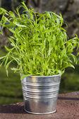 Sage plant in metal pot — Stock Photo