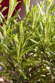 Macro shot rosemary twig — Stock Photo