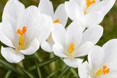 Crocus blossoms — Stock Photo