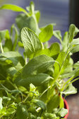 Close-up of fresh oregano — Stock Photo