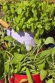 Close-up of fresh garden herbs — Stock Photo