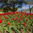 Exceptional view over a large red tulip bed — Stock Photo #45758645