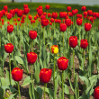 View over a beautiful large red tulip bed in a park — Stock Photo #45758647