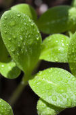 Macro shot, leaves of borage seedling — Stock Photo