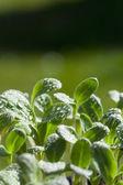 молодой травы растения рассады огуречника — Стоковое фото