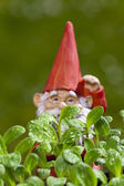 Small garden gnome behind borage plant — Stock Photo