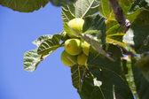 незрелые инжир на дереве на юге франции — Стоковое фото