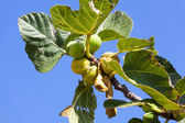 Wild grow Fig Tree in South France — Stock Photo
